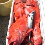 6月16日、深海、キンメ小中混ざり1人35~51匹、アコウ1人30~60cm1~7匹、クロムツ混ざり