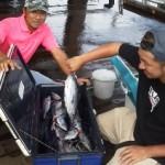 9月5日、各船カツオ狙い、カツオ1~1,5kg多数、小型カツオ、シイラ混ざり@カツオは狙えば沢山釣れた。
